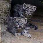 snowleopard cubs