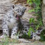 snowleopard cub