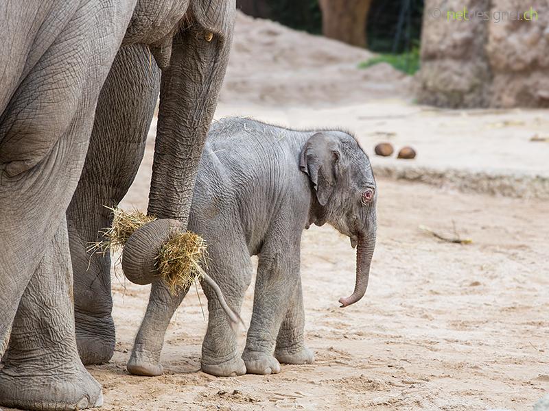 asian elephant baby netdesigner ennetdesigner en