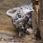 junger Schneeleopard