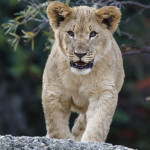 kleine Löwen
