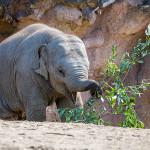 junger asiatischer Elefant