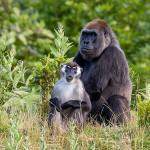 Gorilla + Mangabey