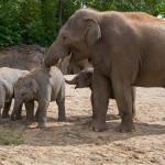 junger Elefant
