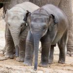 junge asiatische Elefanten
