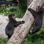 kleine Brillenbären