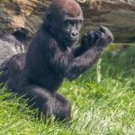 junger Gorilla