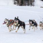 Hundeschlittenrennen
