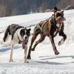 Schlittenhunderennen Gadmen